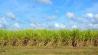 expertise enr biomasse - champs de cannes